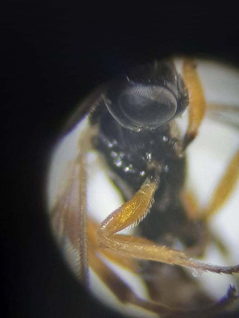Scambus brevicornis