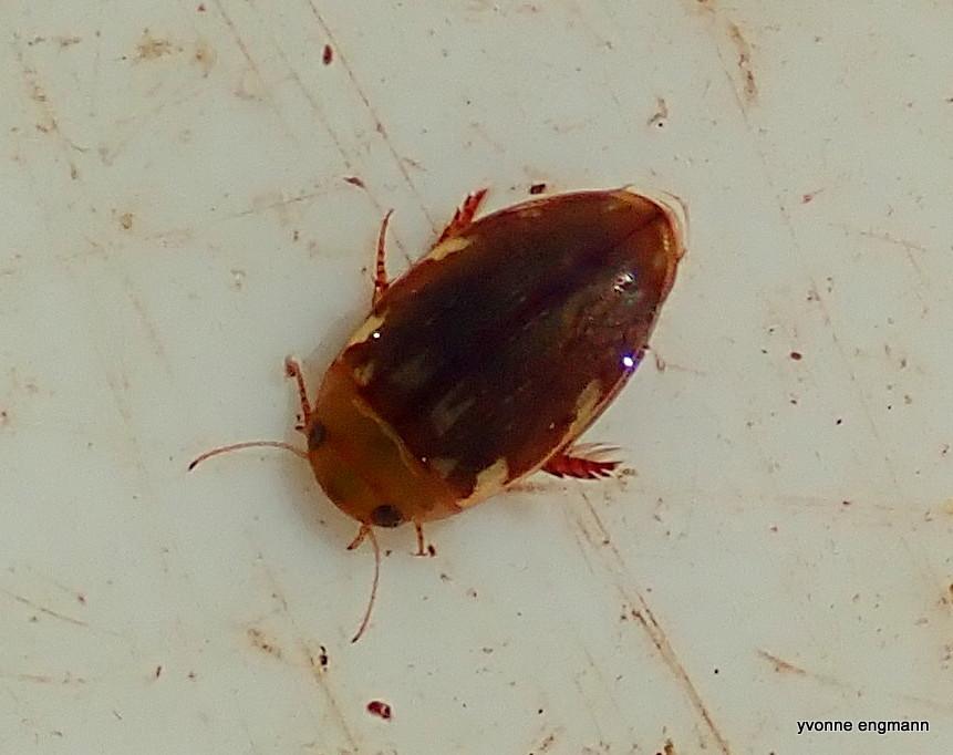 Plettet Springvandkalv (Laccophilus hyalinus)