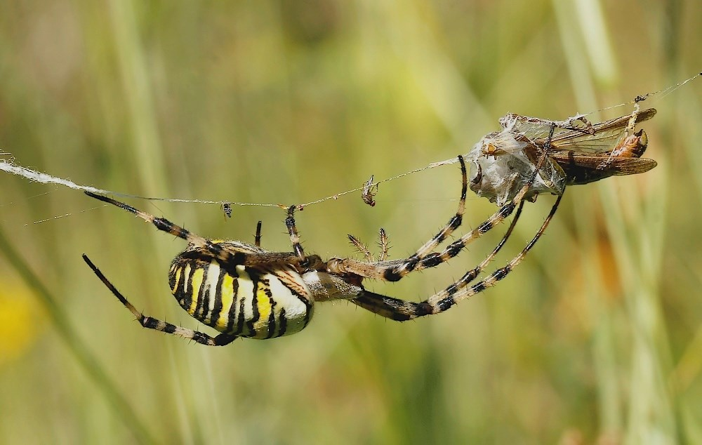 Hvepseedderkop