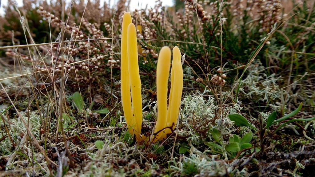 Foto/billede af Lerfarvet Køllesvamp (Clavaria argillacea)