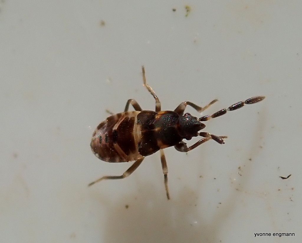Scolopostethus sp. (Scolopostethus sp.)