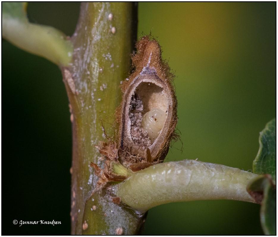 Andricus solitarius