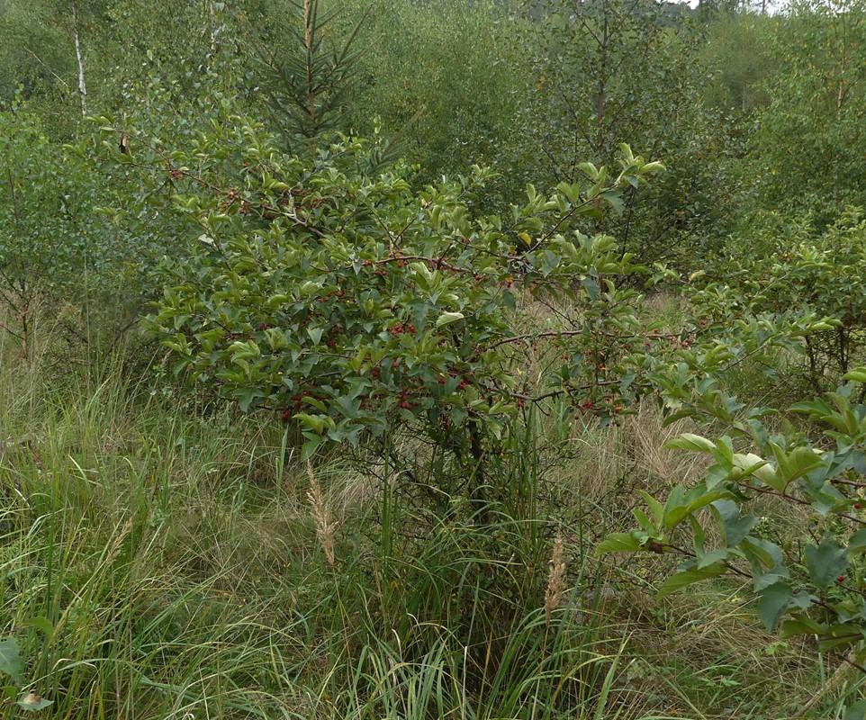 Sargents Æble (Malus toringo var. sargentii)