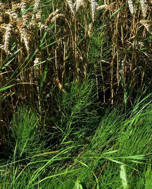 Foto/billede af Ager-padderok (Equisetum arvense)