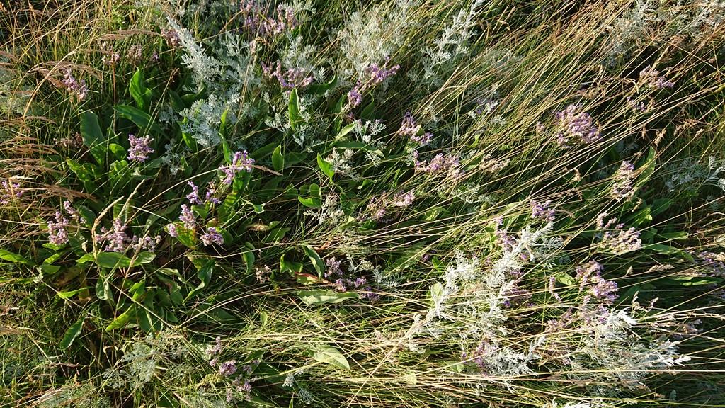Foto/billede af Lav Hindebæger (Limonium humile)