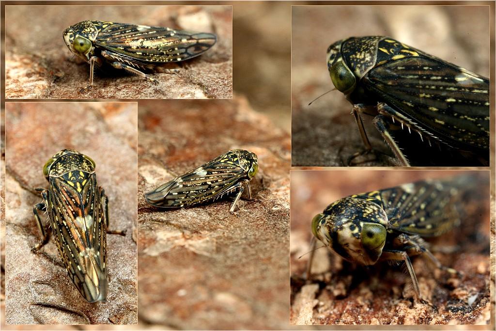 Foto/billede af Acericerus heydenii (Acericerus heydenii)