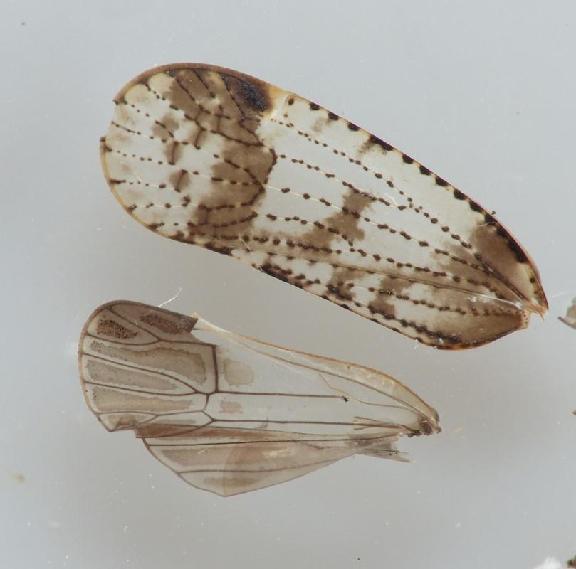 Cixius cunicularius (Cixius cunicularius)