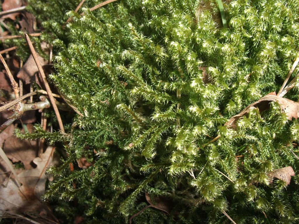 Foto/billede af Ulvefod-Kransemos (Rhytidiadelphus loreus)