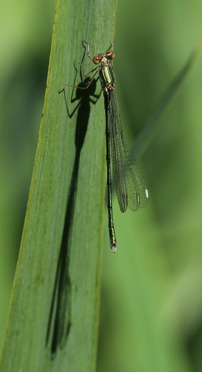 Grøn Kobbervandnymfe (Lestes viridis)