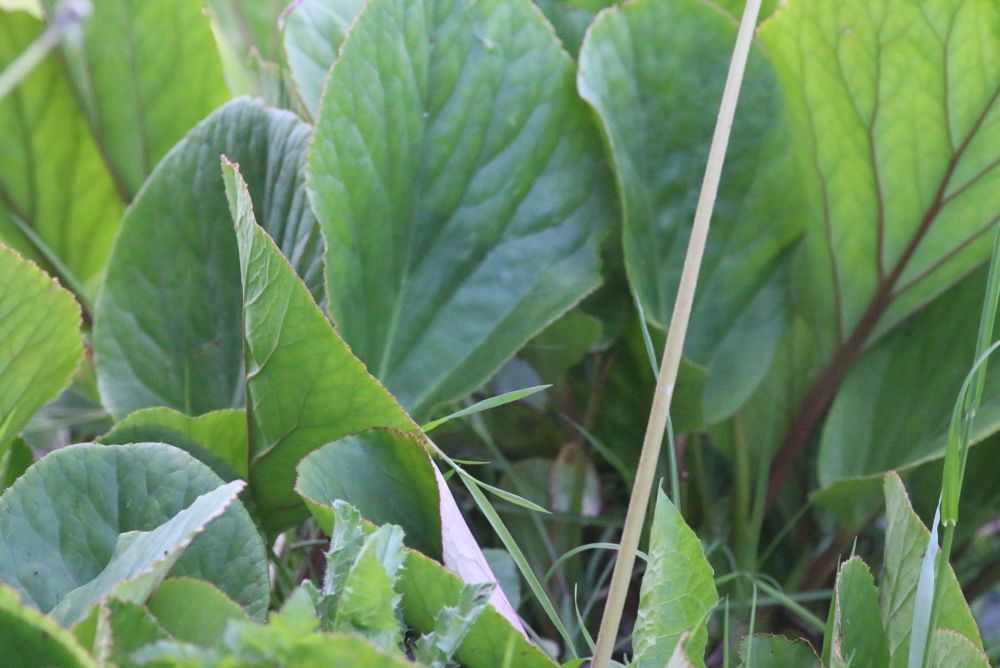 Foto/billede af Almindelig Kæmpestenbræk (Bergenia cordifolia)