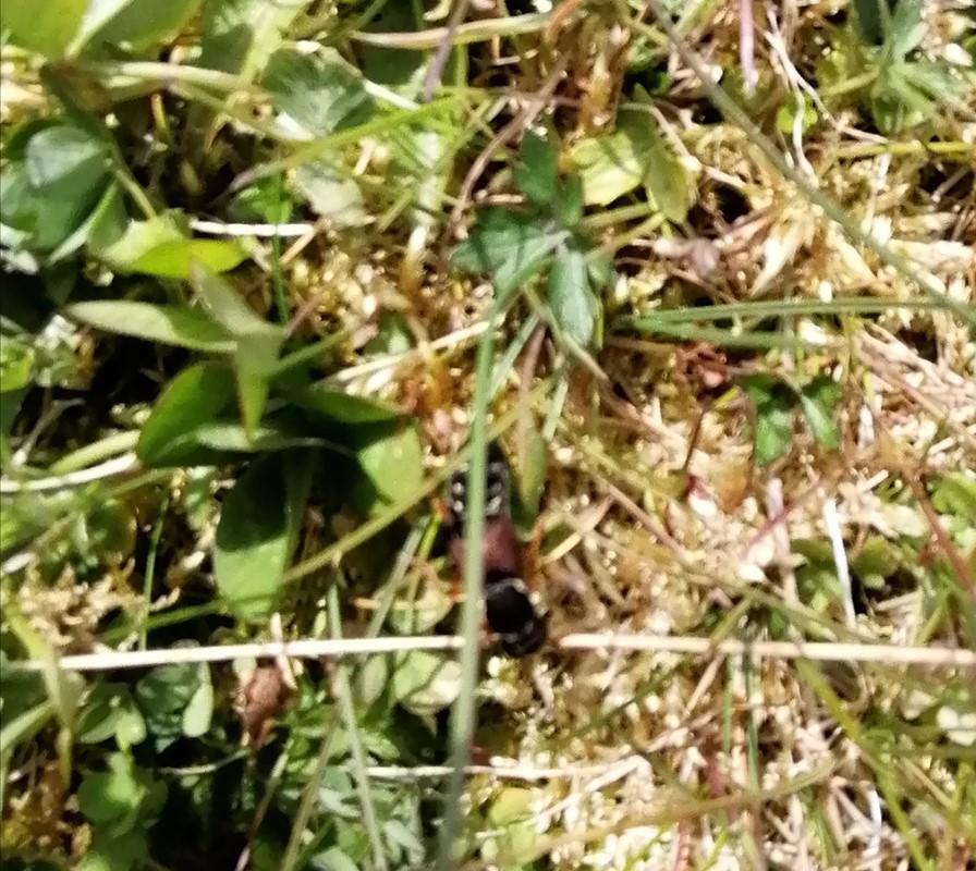 Sortkindet Kejserrovbille (Staphylinus dimidiaticornis)