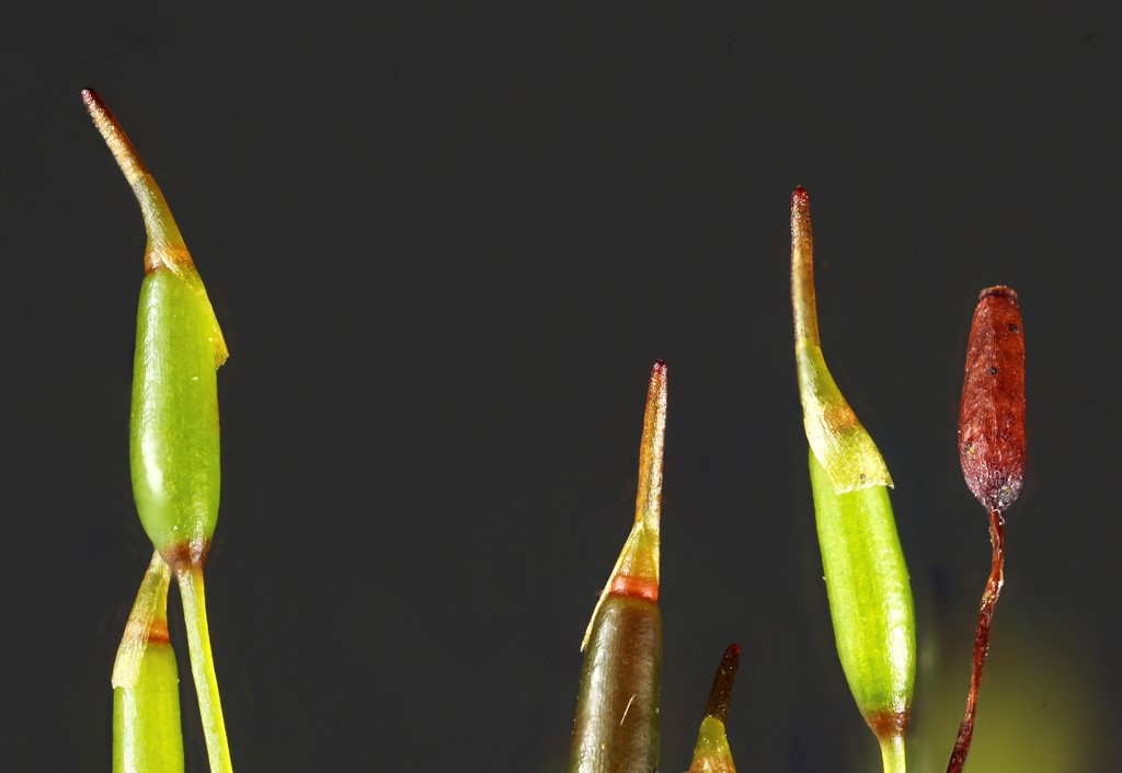 Foto/billede af Ensidig Hårtand (Ditrichum heteromallum)