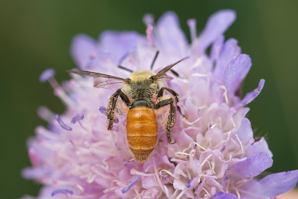 Foto/billede af Orange Jordbi (Andrena marginata)