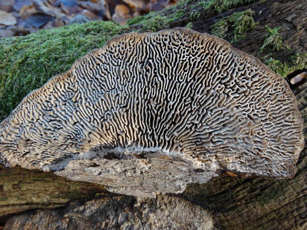 Ege-Labyrintsvamp (Daedalea quercina) - Foto/billede fra taget af Jørgen Christiansen ...