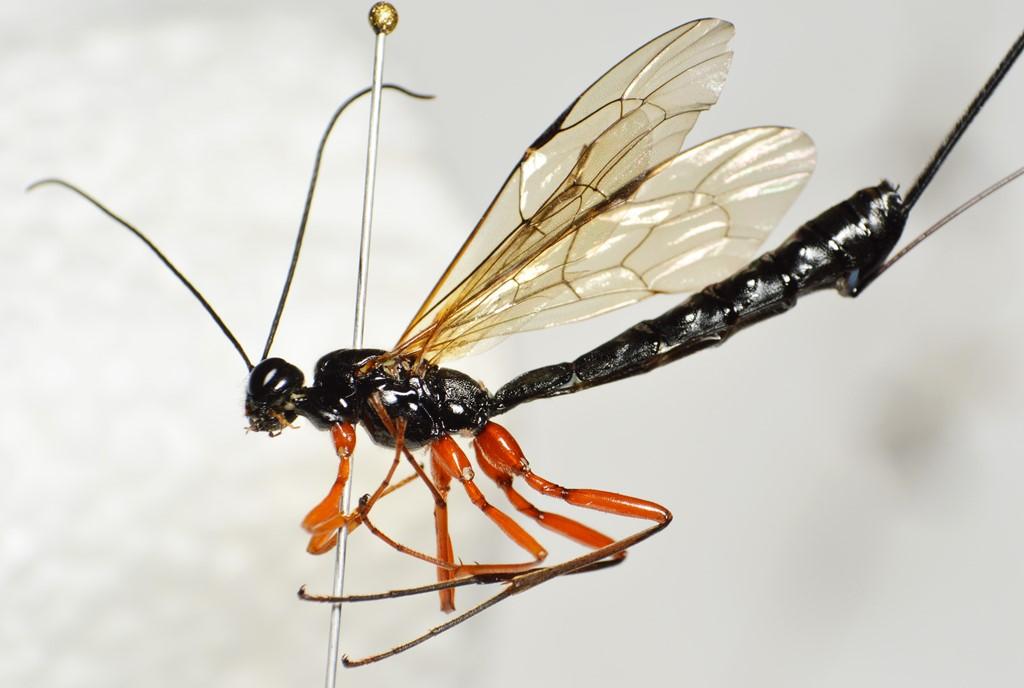 Dolichomitus quercicolus