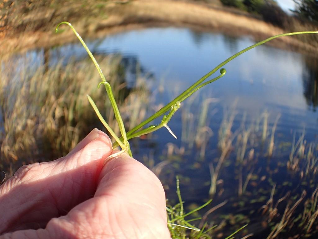 Foto/billede af Pilledrager (Pilularia globulifera)