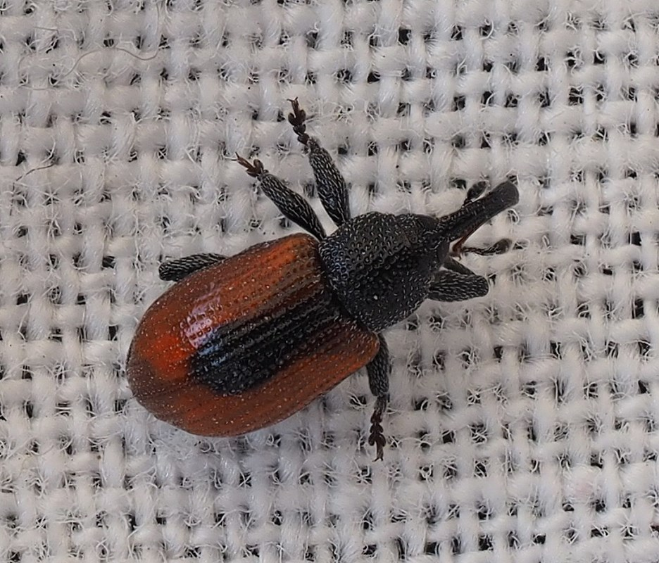 Foto/billede af Dorytomus dorsalis (Dorytomus dorsalis)