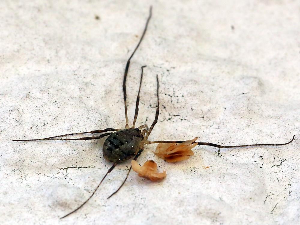 Foto/billede af Mejer sp. (Opiliones sp.)