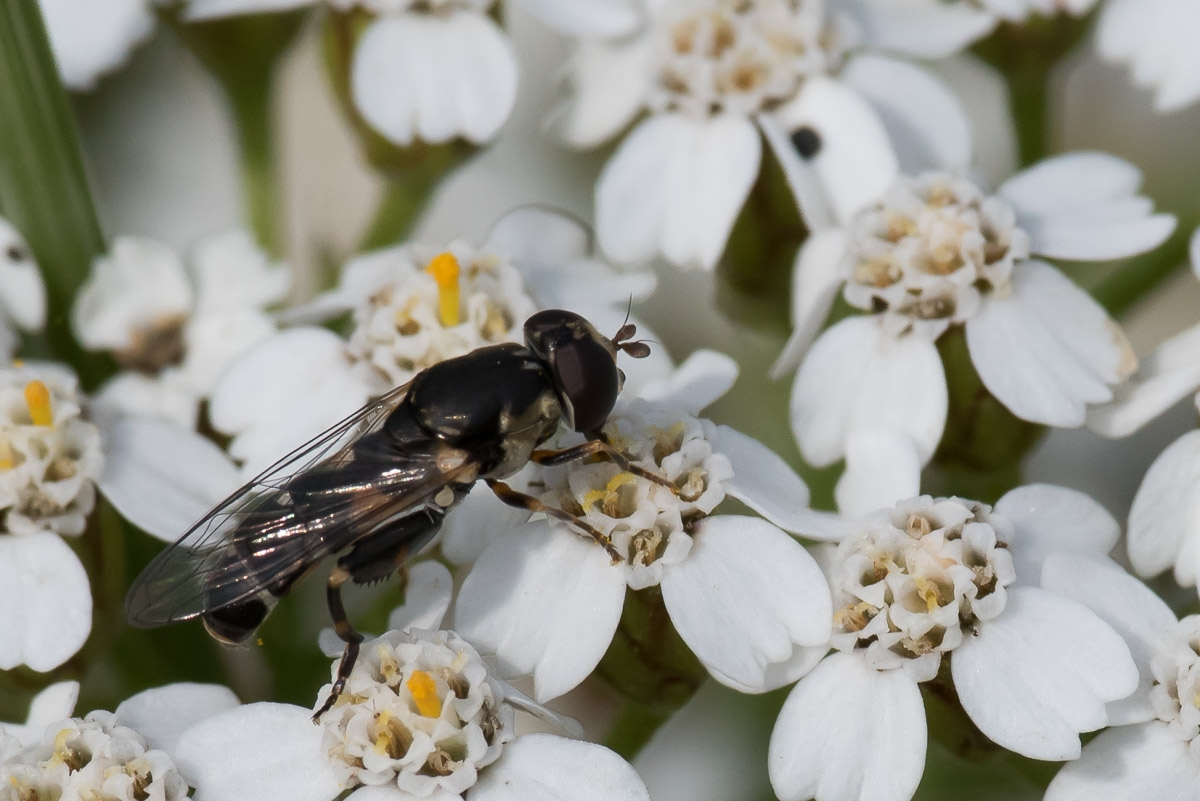 Foto/billede af Kompost-svirreflue (Syritta pipiens)