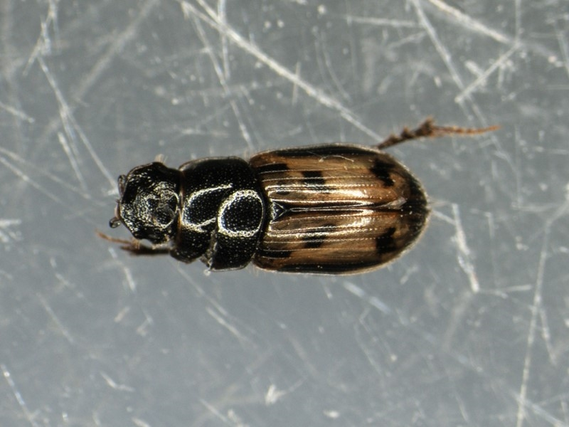 Foto/billede af Tidlig Møgbille (Aphodius distinctus)