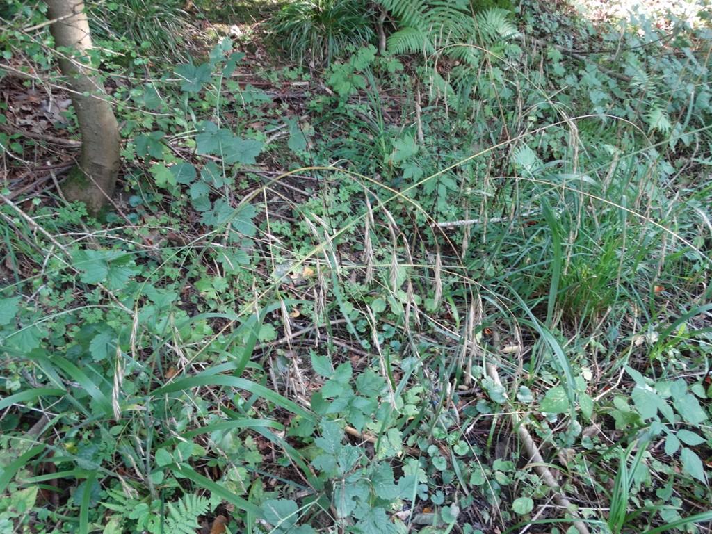 Foto/billede af Sildig Skov-Hejre (Bromopsis ramosa)