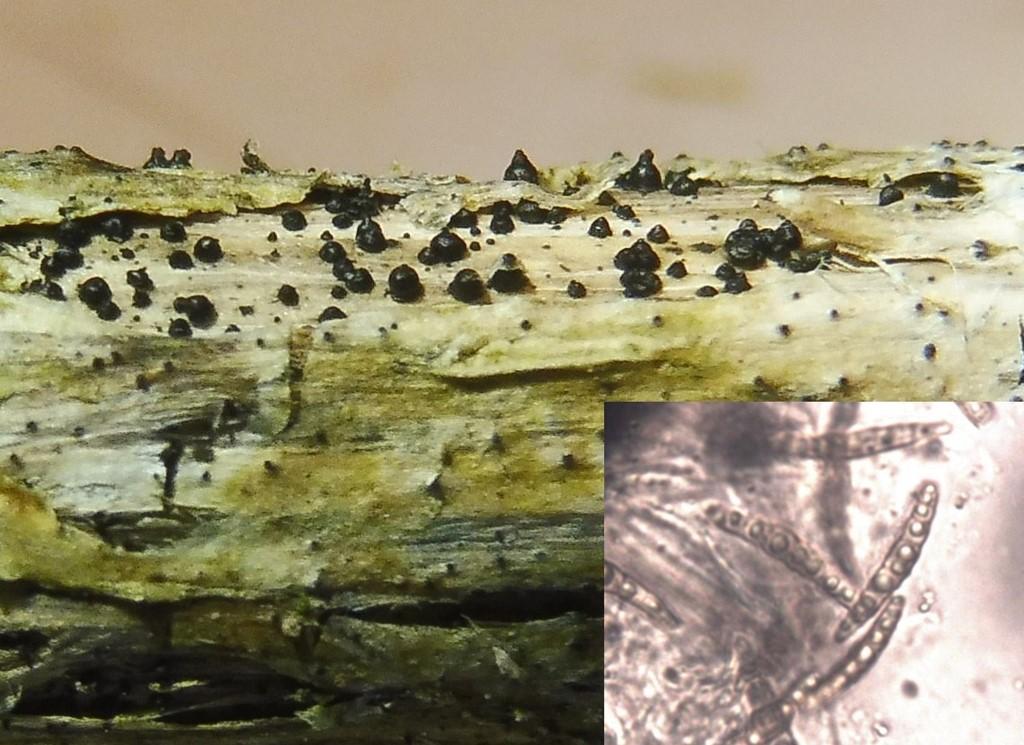 Spids Kulkegle (Leptosphaeria acuta)