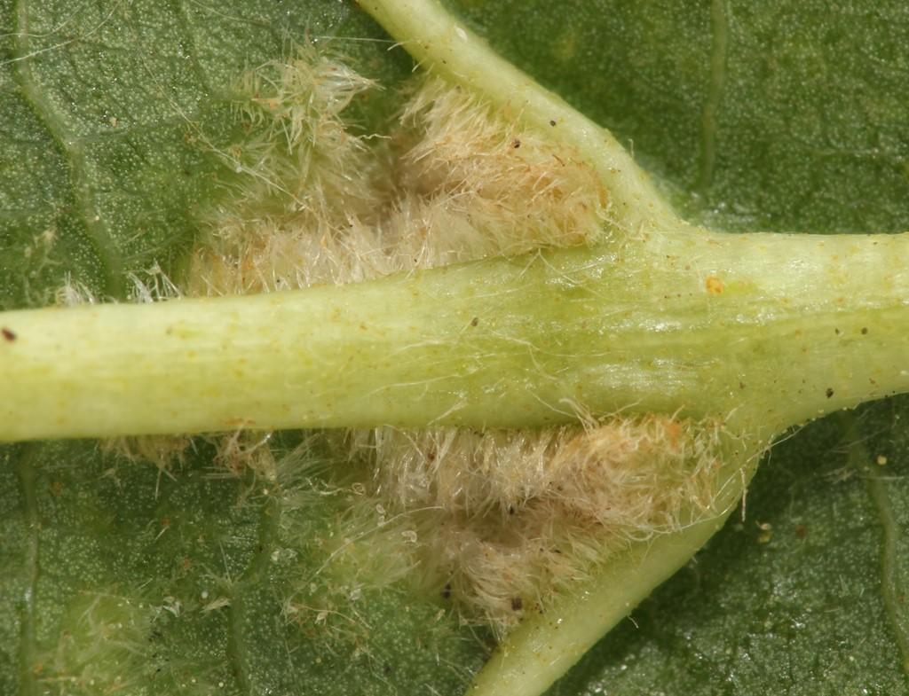 Eriophyes inangulis