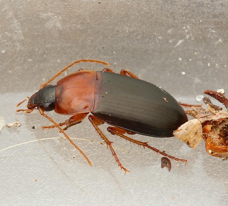 Foto/billede af Rødbrystet Torpedoløber (Calathus melanocephalus)