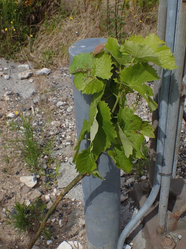 Almindelig Vin (Vitis vinifera)