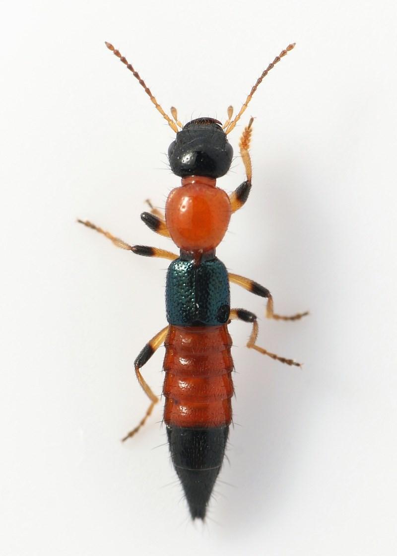 Paederus littoralis (Paederus littoralis)
