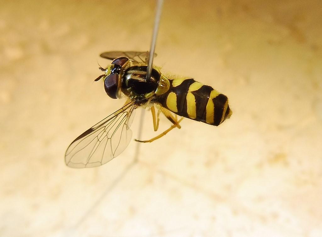 Stribet Skovsvirreflue (Dasysyrphus albostriatus)