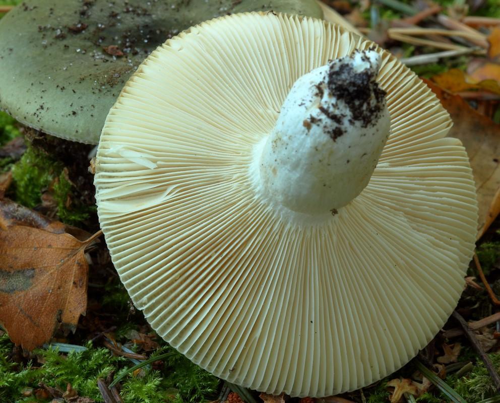 Foto/billede af Gaffelbladet Skørhat (Russula heterophylla)