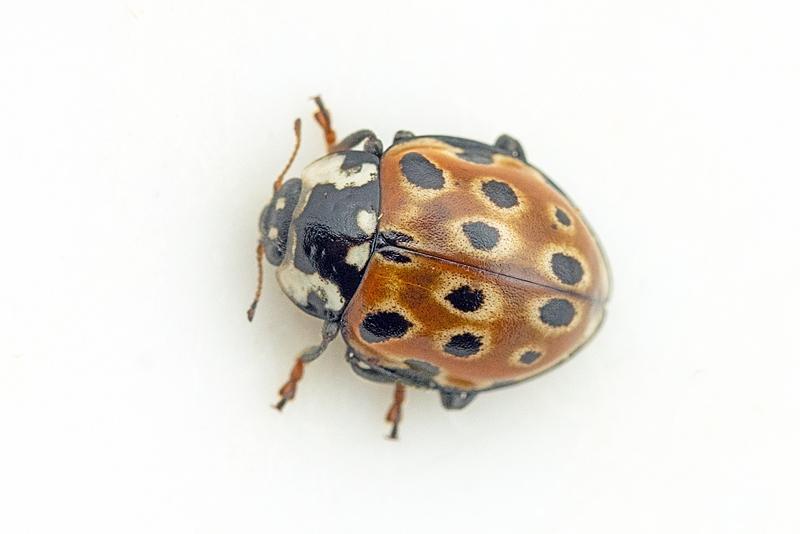 Foto/billede af Øjeplettet Mariehøne (Anatis ocellata)