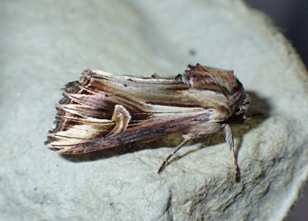 Lilla Perikonugle (Actinotia polyodon)