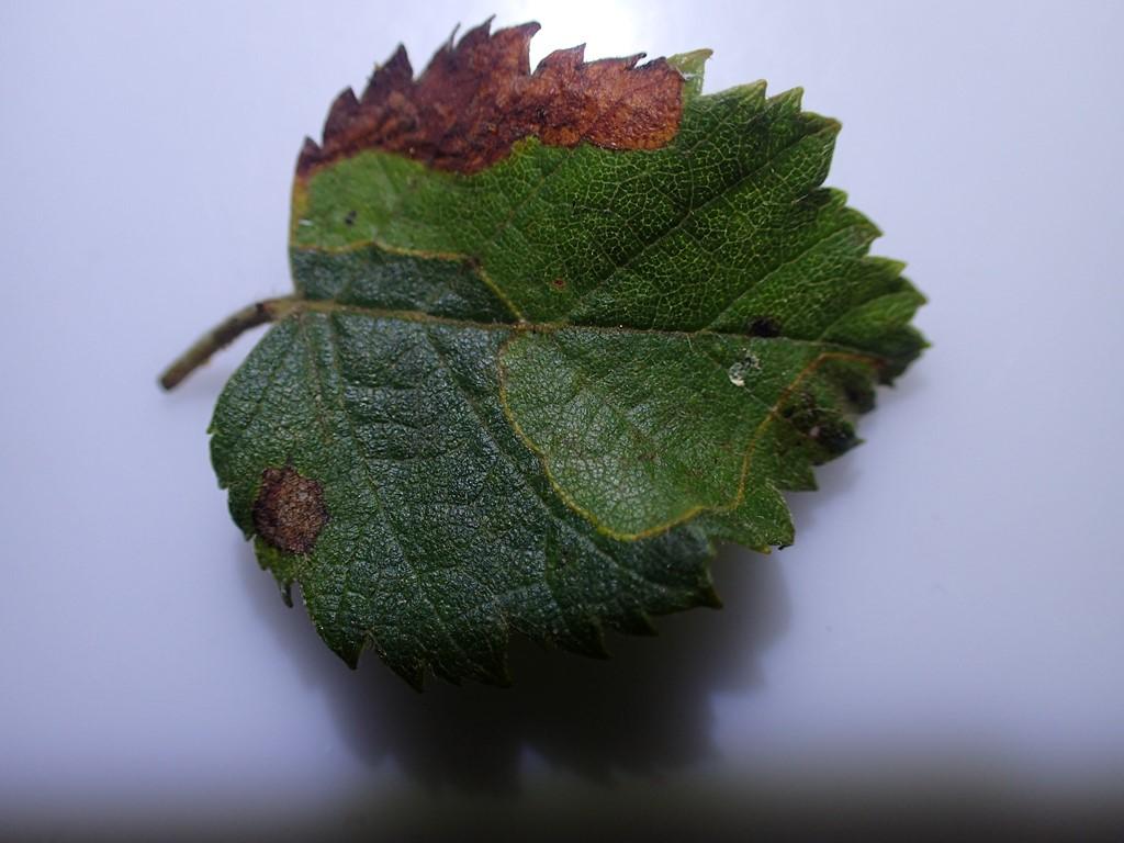 Lyonetia prunifoliella