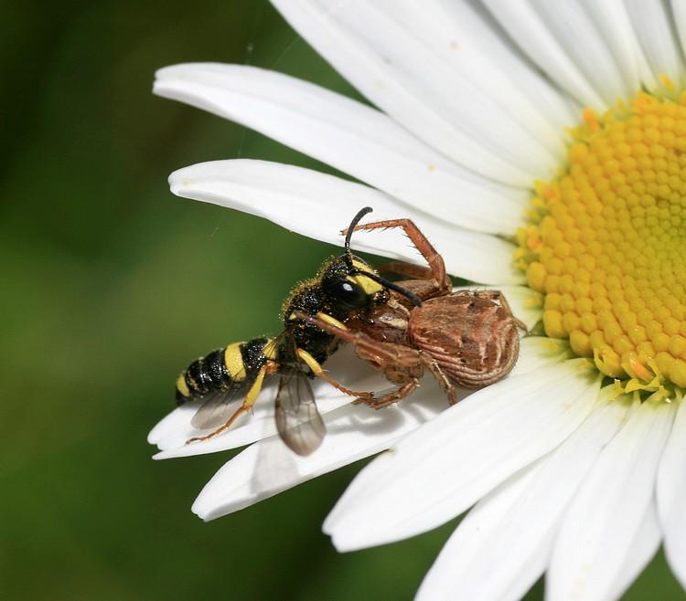 Almindelig Krabbeedderkop (Xysticus cristatus)