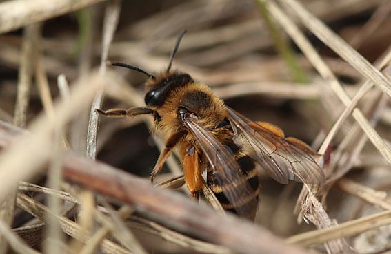 Gulbåndet Jordbi (Andrena flavipes)