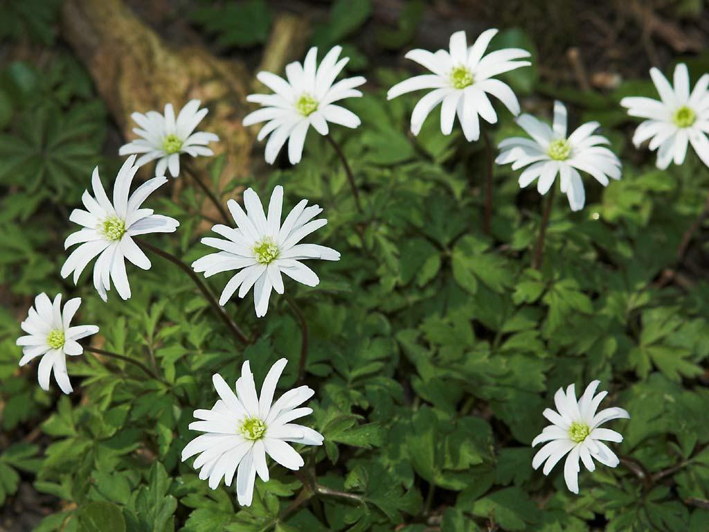 Foto/billede af Blegblå Anemone (Anemone apennina var. pallida)