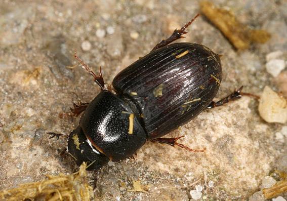Foto/billede af Hedemøgbille (Aphodius coenosus)