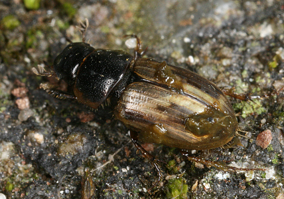 Aphodius sphacelatus (Aphodius sphacelatus)