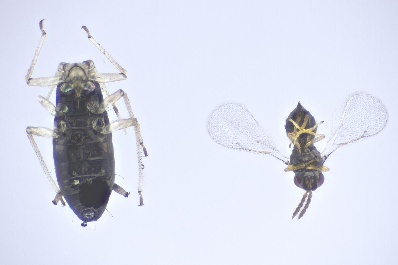 Aprostocetus sp. (Aprostocetus sp.)
