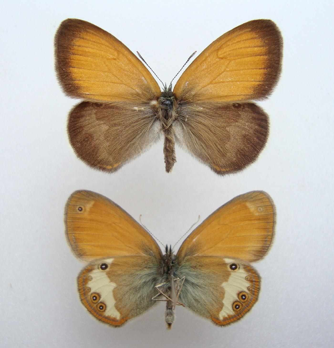 Foto/billede af Perlemorrandøje (Coenonympha arcania)