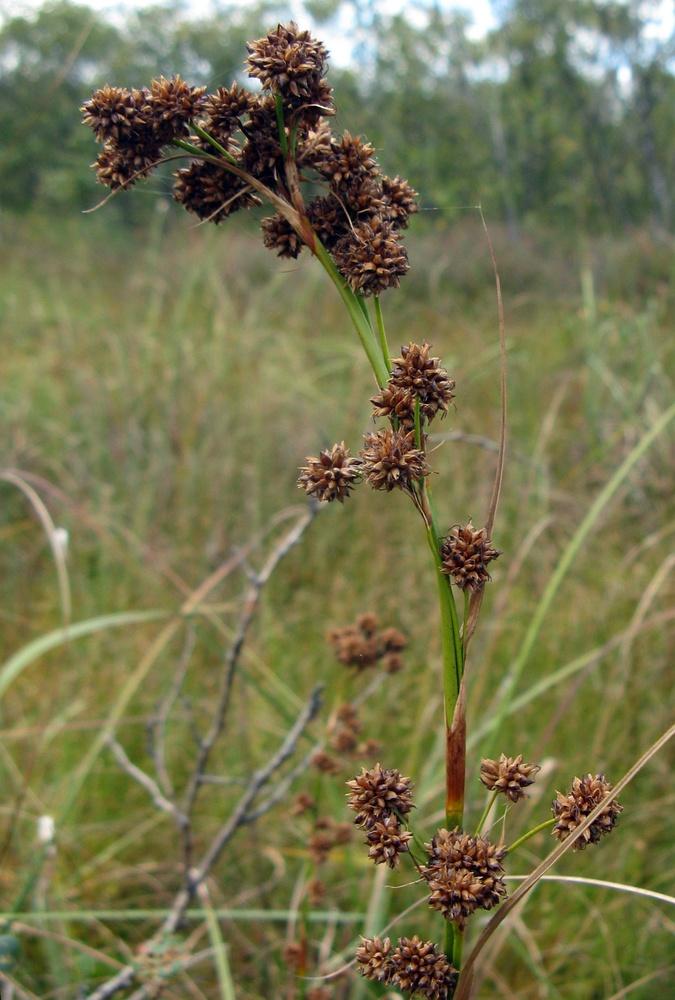 Foto/billede af Hvas Avneknippe (Cladium mariscus)
