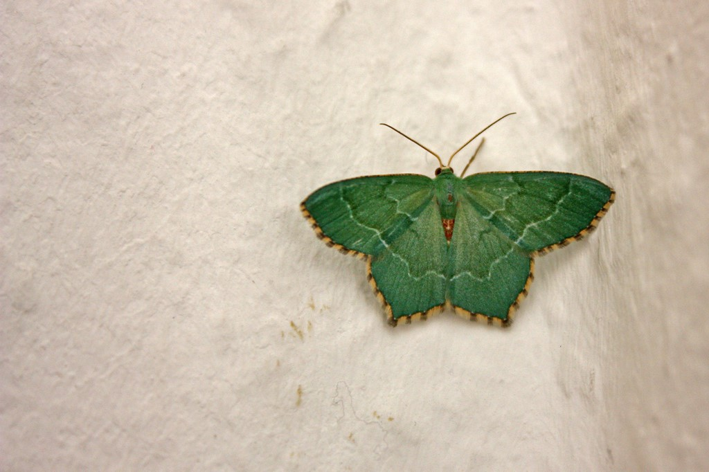 Foto/billede af Lundmåler (Hemithea aestivaria)