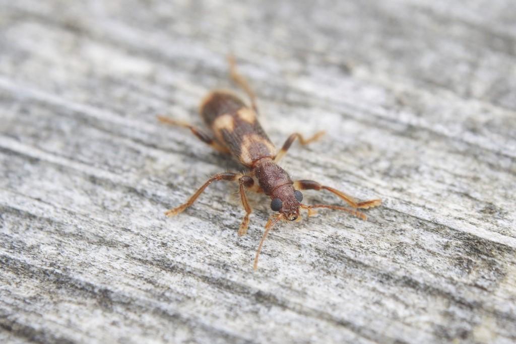 Løvtræsmyrebille (Opilo mollis)