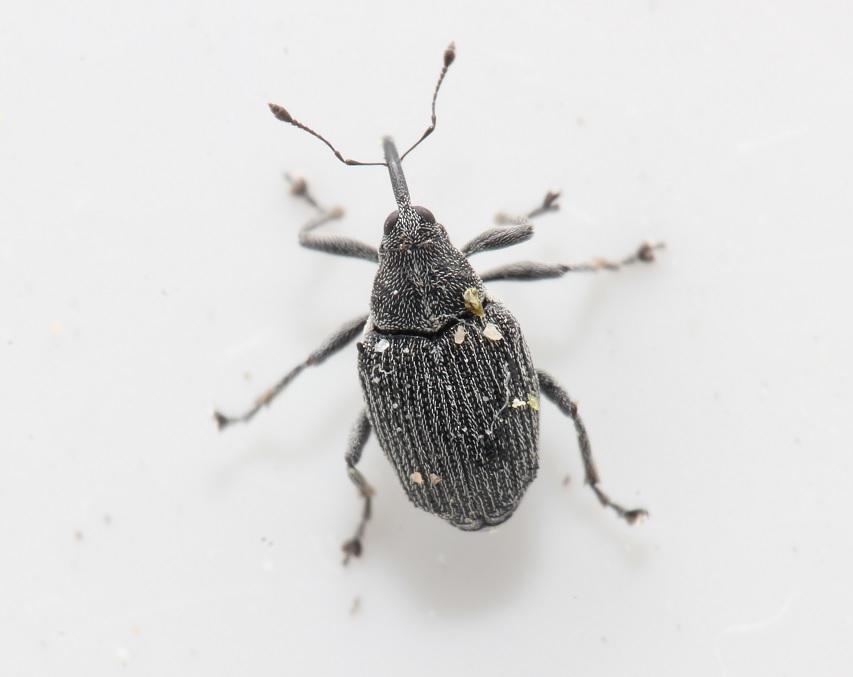 Blygrå Rapssnudebille (Ceutorhynchus obstrictus)