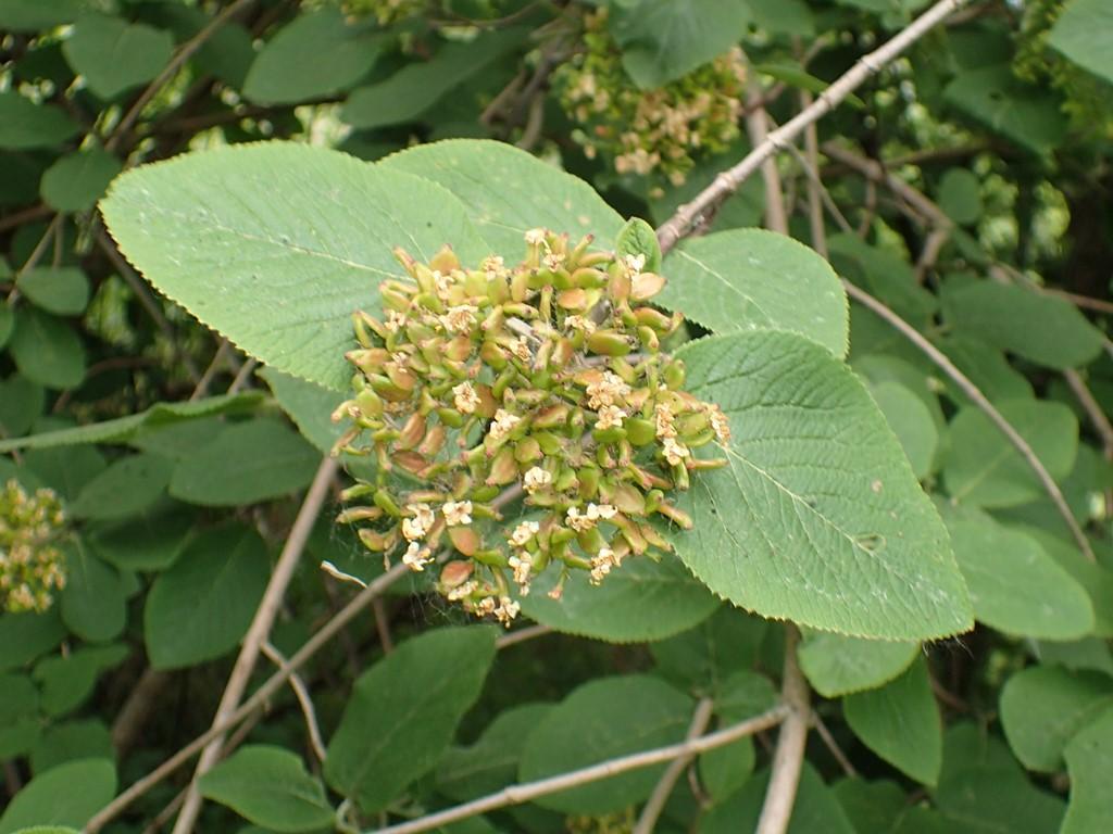 Foto/billede af Pibe-Kvalkved (Viburnum lantana)