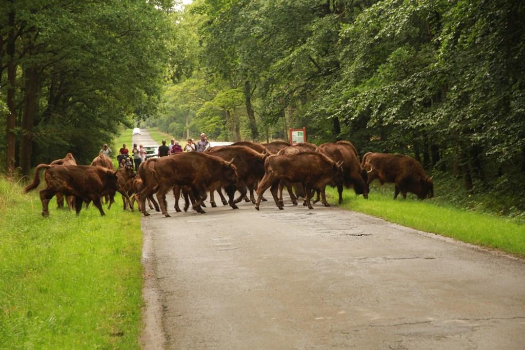 Europæisk Bison (Bison bonasus)