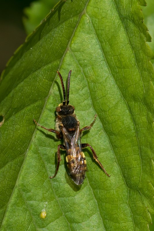 Tidlig Hvepsebi (Nomada leucophthalma)