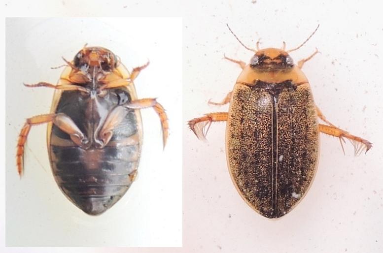Rhantus bistriatus (Rhantus bistriatus)